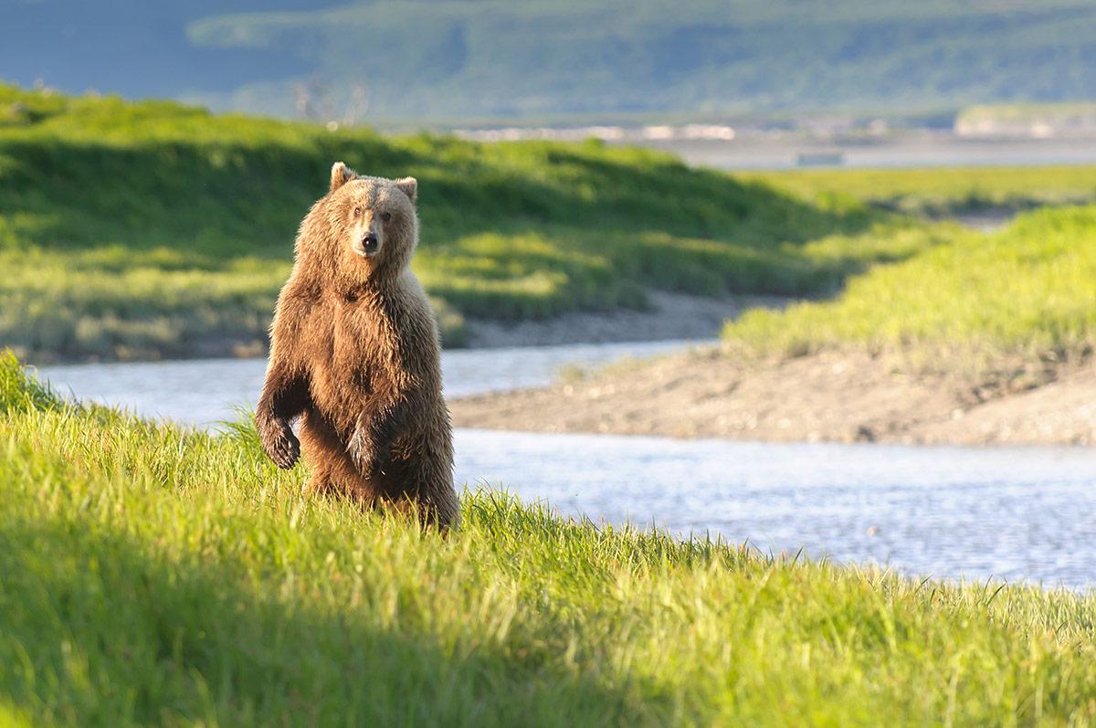 Katmai-Bear-in-River